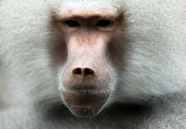 baboon_1730060b